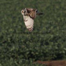 Short Eared Owl (4)