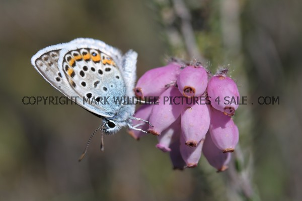 Silver Studded Blue (5)
