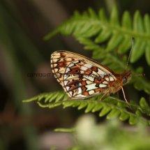 Small Pearl Bordered Fritillary (8)