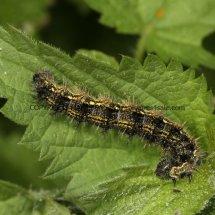 Small Tortoiseshell Caterpillar