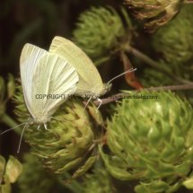 Small White (5)