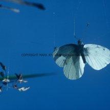 Small White in Spider's Web