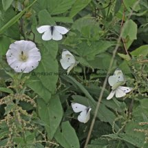 Small Whites 4 & 1 Green Veined White