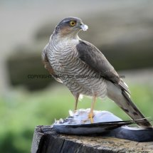 Sparrowhawk (15)