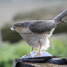 Sparrowhawk (18)