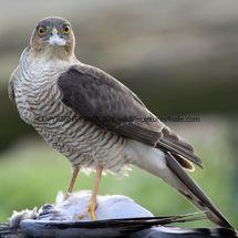 Sparrowhawk (6)