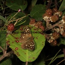 Speckled Wood (1)