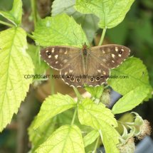 Speckled Wood (3)