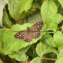 Speckled Wood (4)