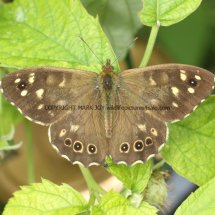 Speckled Wood (5)