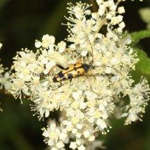 Spotted Longhorn Beetle (Strangalia maculata)