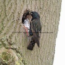 Starling (2)