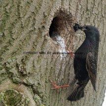 Starling (3)