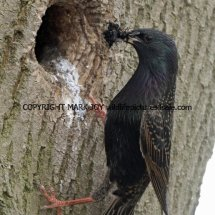 Starling (5)