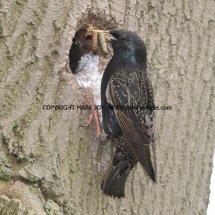 Starling (8)