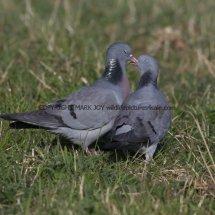 Stock Dove (1)