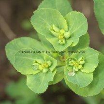 Sun Spurge (Euphorbia helioscopia) (1)