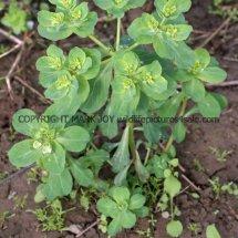 Sun Spurge (Euphorbia helioscopia) (3)