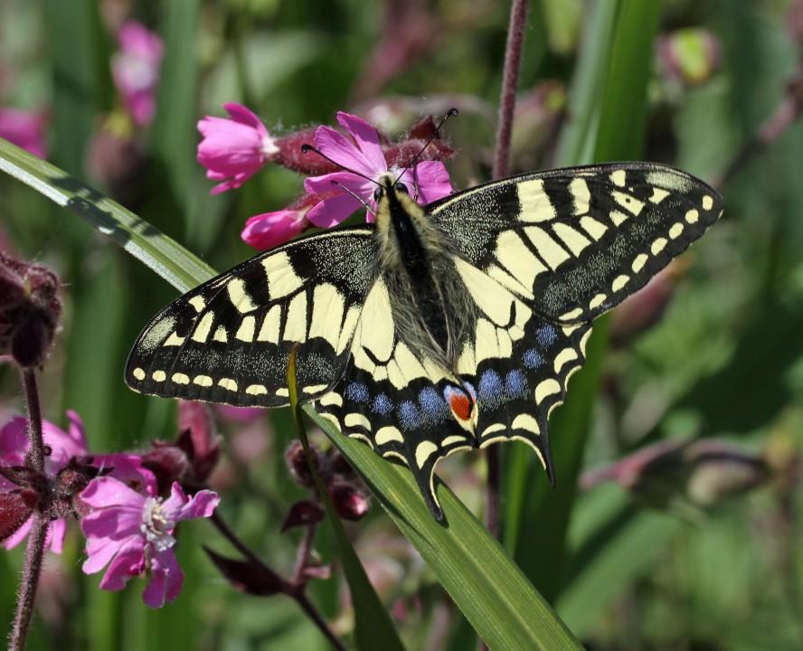 Swallowtail (8)