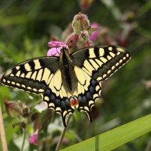 Swallowtail  (11)