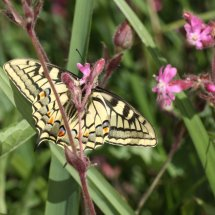 Swallowtail  (21)