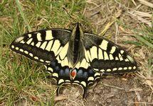 Swallowtail  (22)