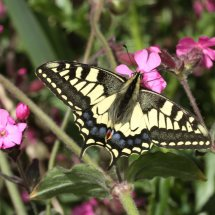 Swallowtail  (23)