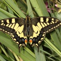 Swallowtail  (30)