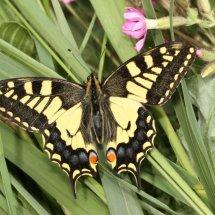 Swallowtail  (31)