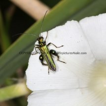 Swollen-thighed Beetle (Oedemera nobilis) (2)