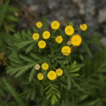 Tansy or Golden Buttons (Tanacetum vulgare) (2)