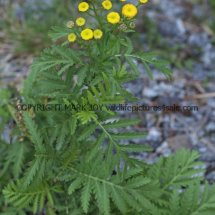 Tansy or Golden Buttons (Tanacetum vulgare) (4)