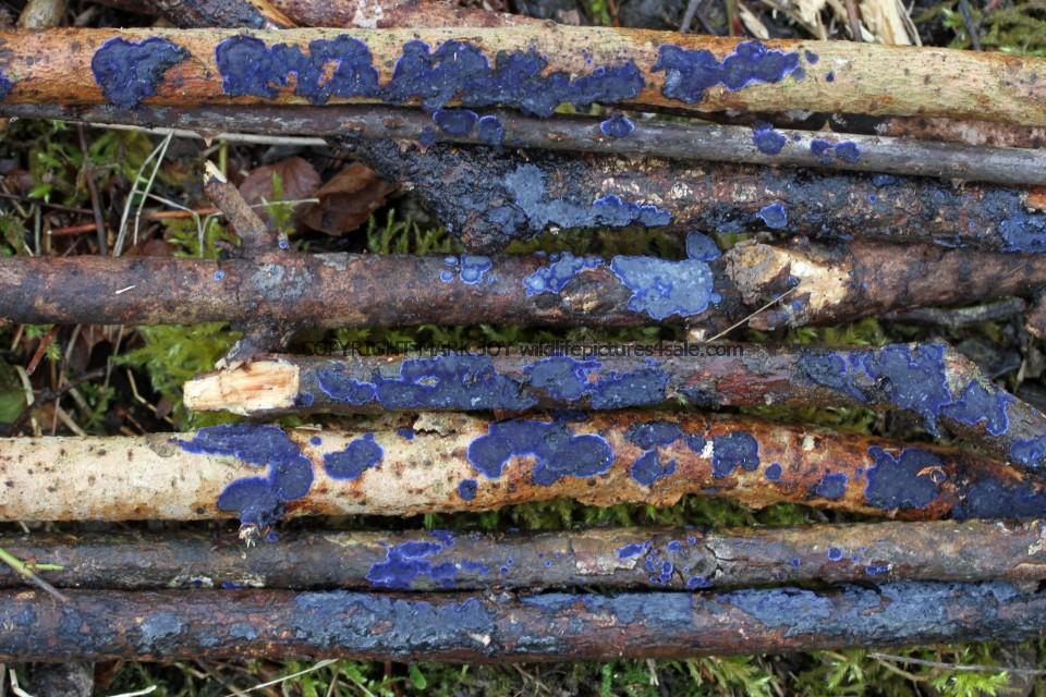 Terana caerulea Cobalt Crust fungus Hartslock Nature Reserve 13.2.2017 (10)