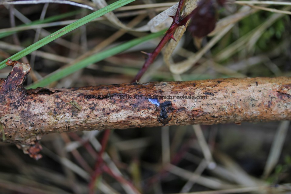 Terana caerulea Cobalt Crust fungus Hartslock Nature Reserve 13.2.2017 (4)