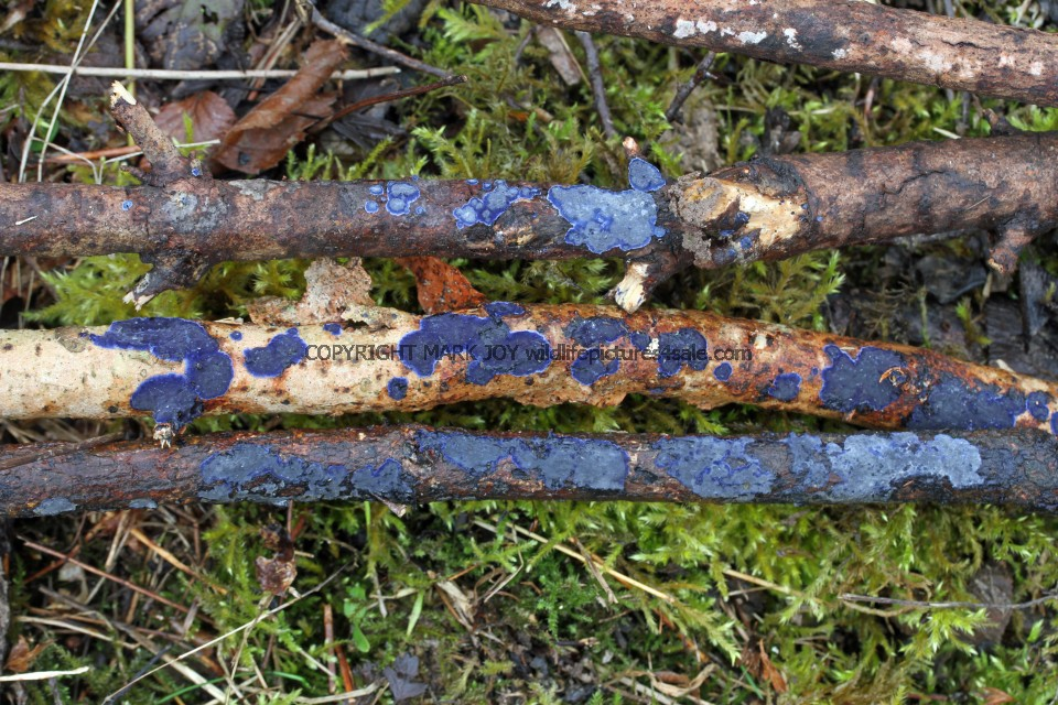 Terana caerulea Cobalt Crust fungus Hartslock Nature Reserve 13.2.2017 (9)