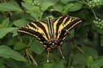 Three-tailed Tiger Swallowtail (Papilio pilumnus) (6)