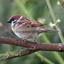 Tree Sparrow 1 (5)