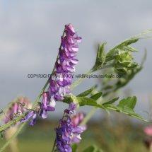 Tufted Vetch (Vicia cracca) (2)