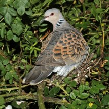 Turtle Dove (11)
