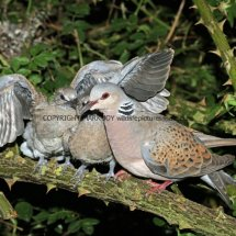Turtle Dove (12)