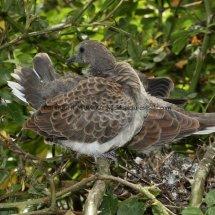 Turtle Dove (14)