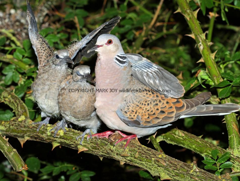 Turtle Dove (15)