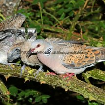 Turtle Dove (16)