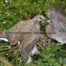 Turtle Dove (17)