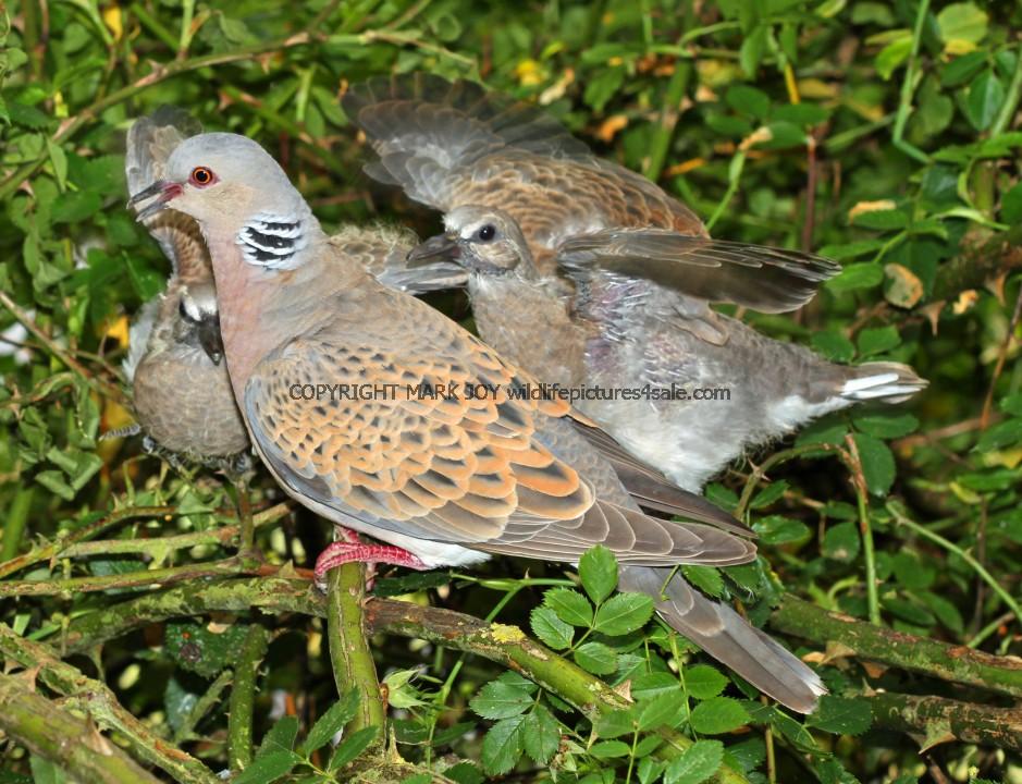 Turtle Dove (2)