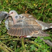 Turtle Dove (33)