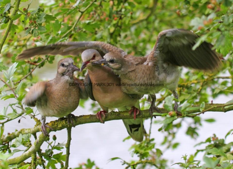 Turtle Dove (177)
