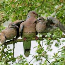 Turtle Dove (179)