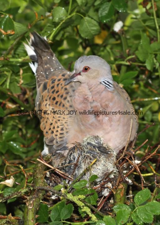 Turtle Dove (48)