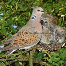 Turtle Dove (4)